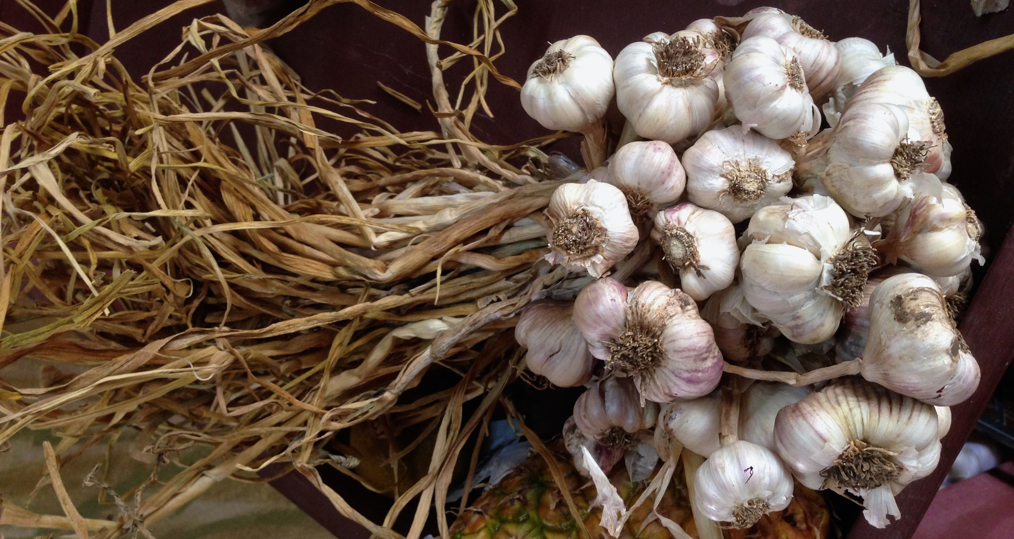 Organic Costa Rica Garlic